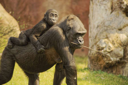 Lowland Gorilla Class  mammals, Order  Primates, Family  ape Stock Photo - 12986667