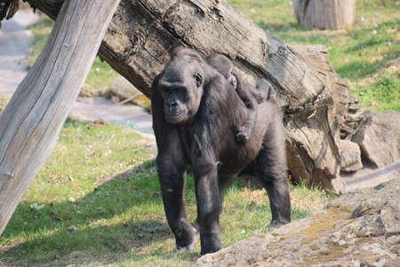 Lowland Gorilla Class  mammals, Order  Primates, Family  ape