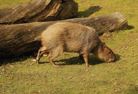 Capybara,  hydrochaeris hydrochaerus  Class  mammals, the Order  rodents,