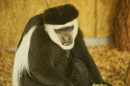 Colobus plastic, Class  mammals, Order  Primates, Family  monkeys