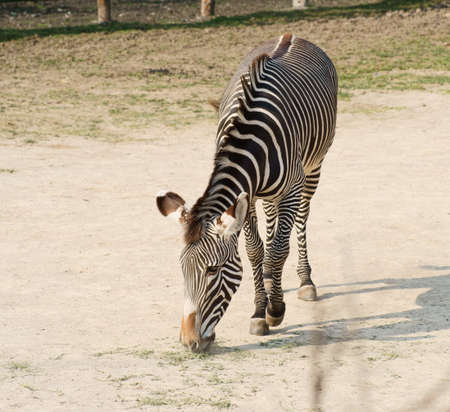 Grevy s zebra, Class  mammals, Order  Perissodactyla, Family  concentric rings Stock Photo