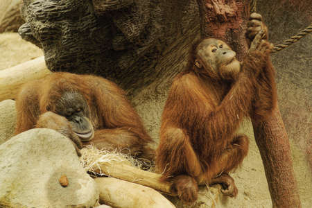 pictures of orangutans living in the Prague zoo Stock Photo - 13097769