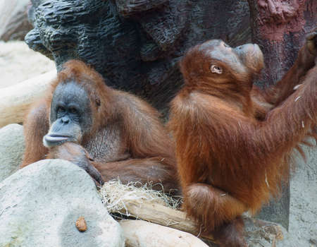pictures of orangutans living in the Prague zoo  Stock Photo