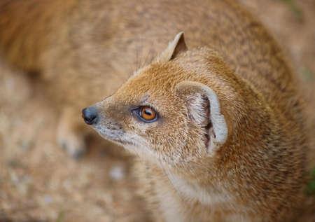 unafraid: Mangusta fox - small fearless beast Stock Photo