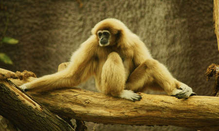 primates: Lar Gibbon - Class  mammals, Order  Primates, Family  gibbons Stock Photo