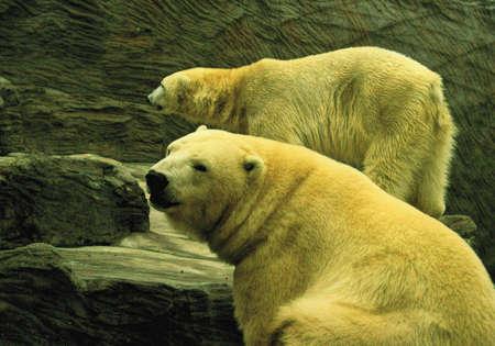 Polar bear,-class  mammals, Order  Carnivores, Family  Bears