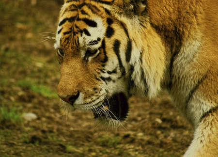 carnivores: Siberian Tiger-class  mammals, Order  Carnivores, Family  Cats Stock Photo