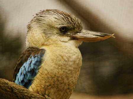Blue-winged Kingfisher - Class  Birds, Order  Coraciiformes, Family  Kingfisher Stock Photo - 13436428