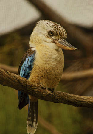 coraciiformes: Blue-winged Kingfisher - Classe Uccelli, ordine Coraciiformes, Kingfisher Famiglia Archivio Fotografico