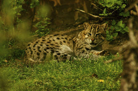 Fishing Cat  Prionailurus viverrinus  is a small felid inhabiting the swamps and mangroves of Southeast Asia  Stock Photo