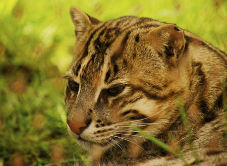 felid: Fishing Cat  Prionailurus viverrinus  is a small felid inhabiting the swamps and mangroves of Southeast Asia  Stock Photo