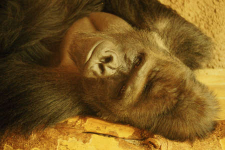 lowland: Lowland Gorilla-class  mammals, Order  Primates, Family  ape Stock Photo