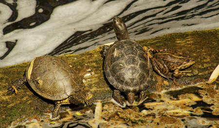 in an artificial pond turtles basking on a rock  Stock Photo