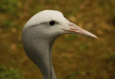 Cranes- Anthropoides Paradise -Class  Birds, Order  Rails, Family  Crane