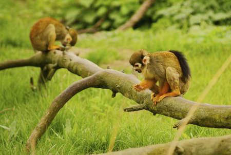 Common squirrel monkeys- Saimiri sciureus -class  mammals, Order  Primates, Family  capuchin