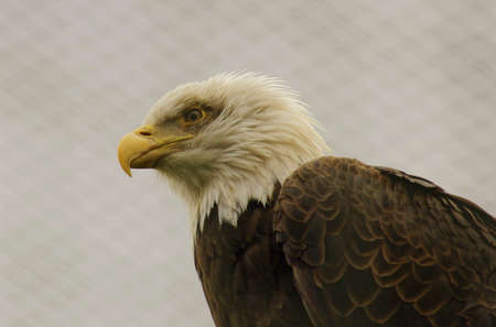 Bald Eagle  Haliaeetus leucocephalus -Class  Birds, Order  predators, Family  Hawk Stock Photo