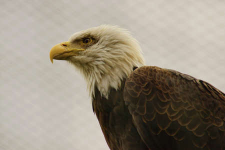 Bald Eagle  Haliaeetus leucocephalus -Class  Birds, Order  predators, Family  Hawk Stock Photo - 13436032