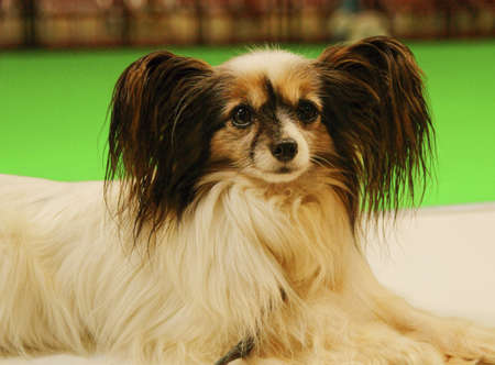 Pictures of pets international exhibition breeds of dogs Stock Photo - 13579552
