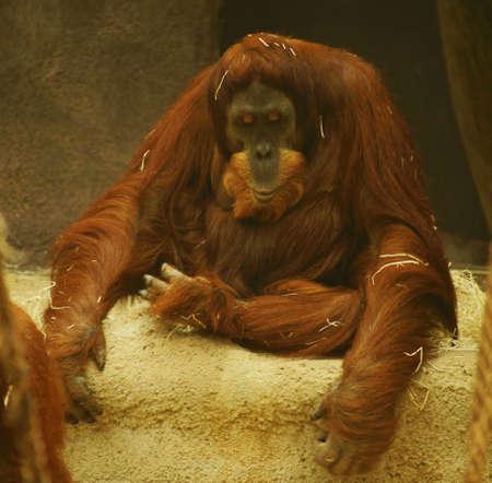 Orang utan Pongo pygmaeus  Stock Photo - 13548342