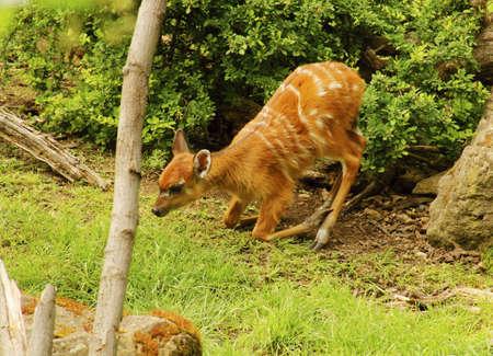 bovid: Sitatunga  swamp antelope  -  Tragelaphus spekei -class  mammals, Order  Artiodactyla, Family  bovid