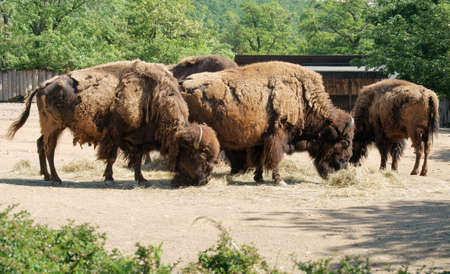 bovid: American Bisons - Class  mammals, Order  Artiodactyla, Family  bovid
