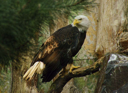 Bald Eagle Stock Photo - 13970137