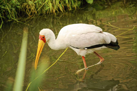 ciconiiformes: Nesyt African-Class  Birds, Order  Ciconiiformes, Family  storks
