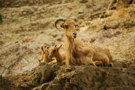bovid: Barbary sheep-class  mammals, Order  Artiodactyla, Family  bovid