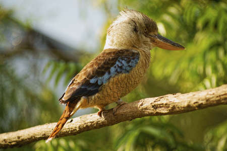 coraciiformes: Blue-winged Kingfisher - Uccelli di classe, Coraciiformes Ordine, Kingfisher Famiglia Archivio Fotografico