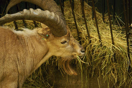 bovid: Caucasian ibex-class  mammals, Order  Artiodactyla, Family  bovid Stock Photo