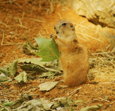 Black-tailed prairie-class  mammals, the Order  rodents, Family  Squirrel Stock Photo - 13962232