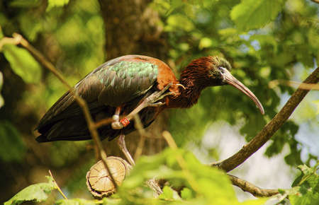 ciconiiformes: ibis brown-Class  Birds, Order  Ciconiiformes, Family  ibis