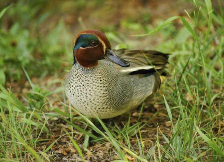 anseriformes: Common Teal-Class  Birds, Order  Anseriformes, Family  Duck