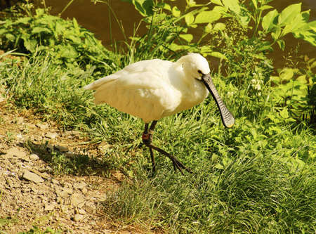 ciconiiformes: Eurasian Spoonbill-Class  Birds, Order  Ciconiiformes, Family  ibis Stock Photo