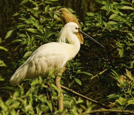 ciconiiformes: Eurasian Spoonbill-Class  Birds, Order  Ciconiiformes, Family  ibis Stock Photo