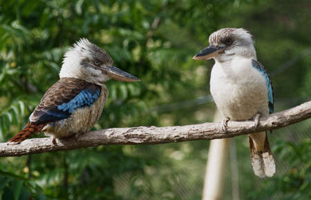 coraciiformes: Blue-winged Kingfisher - Class  Birds, Order  Coraciiformes, Family  Kingfisher