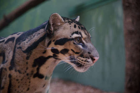 Clouded Leopard - Class  mammals, Order  Carnivores, Family  Cats Stock Photo - 14229748