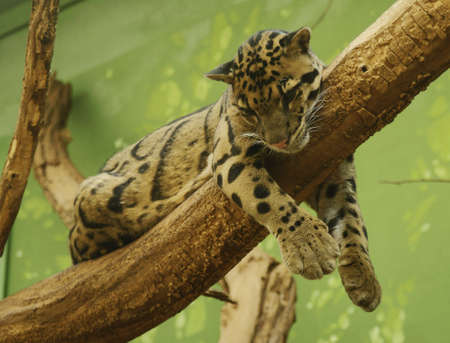 Clouded Leopard - Class  mammals, Order  Carnivores, Family  Cats