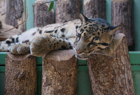 clouded leopard: Clouded Leopard - Class  mammals, Order  Carnivores, Family  Cats