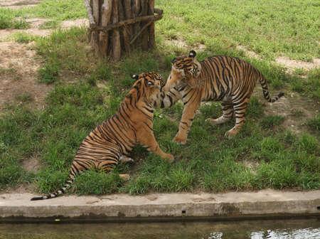 Tiger- class  mammals, Order  Carnivores, Family  Cats