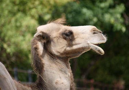 Bactrian Camel - Class  mammals, Order  Artiodactyla, Family  camel