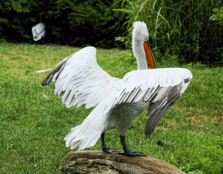 White Pelican - Class  Birds, Order  Pelecaniformes, Family  Pelican Stock Photo - 14322418
