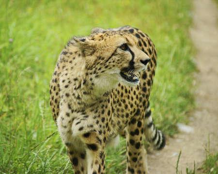 Cheetah - Clasificación de los mamíferos carnívoros de pedidos, gatos de la familia Foto de archivo - 14322297