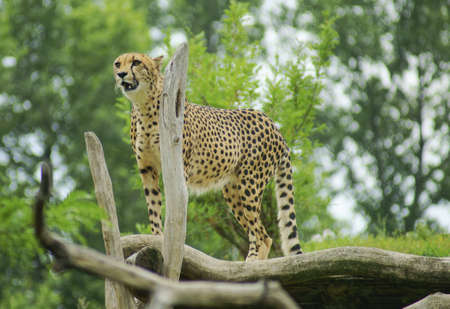 Cheetah - Classification  mammals Order  Carnivores, Family  Cats