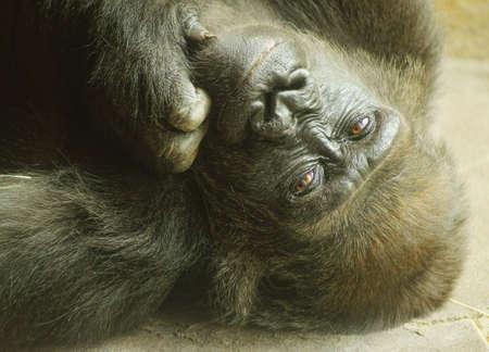 animal related: Lowland Gorilla - Classification  mammals, Order  Primates, Family  ape