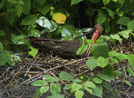 ciconiiformes: Black Stork - Class  Birds, Order  Ciconiiformes, Family Stork Stock Photo