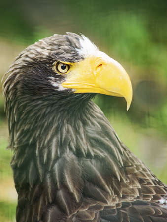 Eastern Eagle  Kamchatka  - Class  Birds, Order  predators, Family  Hawk