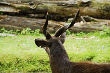 bovid: Wild Asiatic abok - Class  mammals, Order  Artiodactyla, Family  bovid
