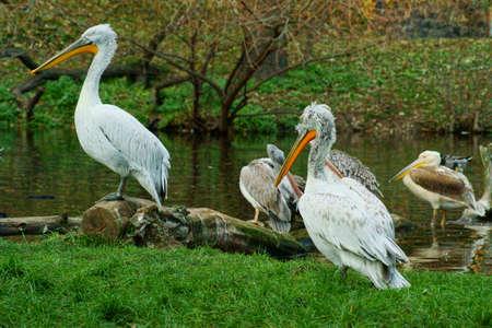 White Pelican  Pelecanus onocrotalus