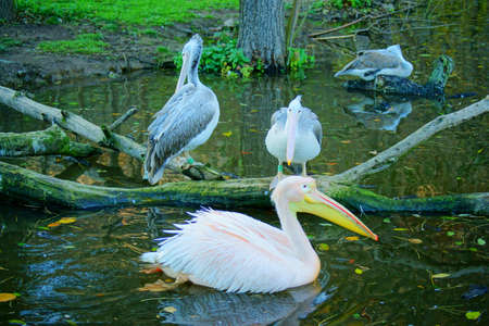 White Pelican  Pelecanus onocrotalus  Stock Photo - 16307998